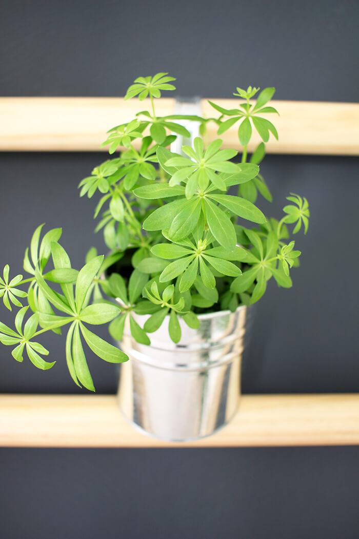 An einer Sprossenwand kan man prima Pflanzen aufhängen. Zum beispiel Waldmeister