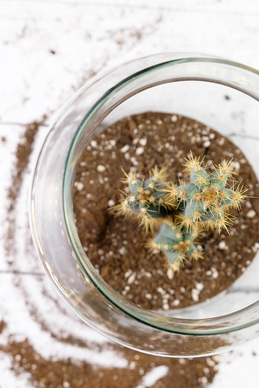 Kaktus einsetzen